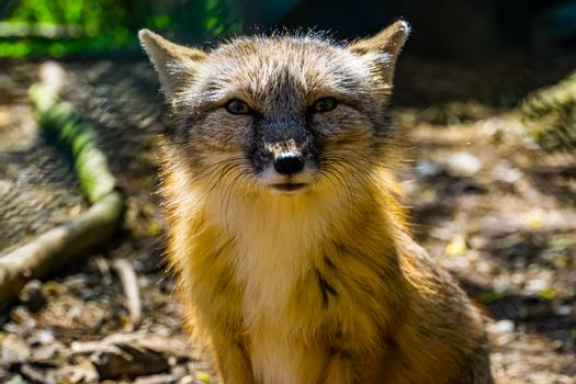 cute closeup of the face of a corsac fox, tropical wild dog specie from Asia