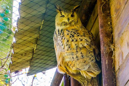 closeup portrait of a siberian eagle owl, popular owl specie from Siberia