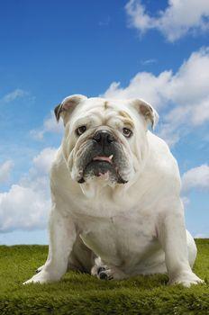 Bulldog sitting