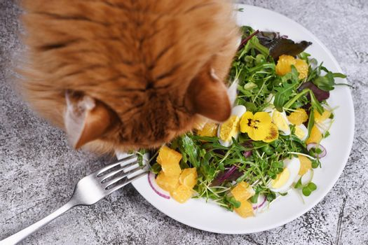 The ginger cat bent over a plate of fruit and vegetable salad. The concept of organic, dietary, balanced pet food.