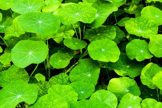 Colorful and beautiful green tropaeolum majus in the garden